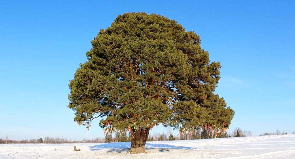 Деревья в лесах не походят на трехсотлетние сосны